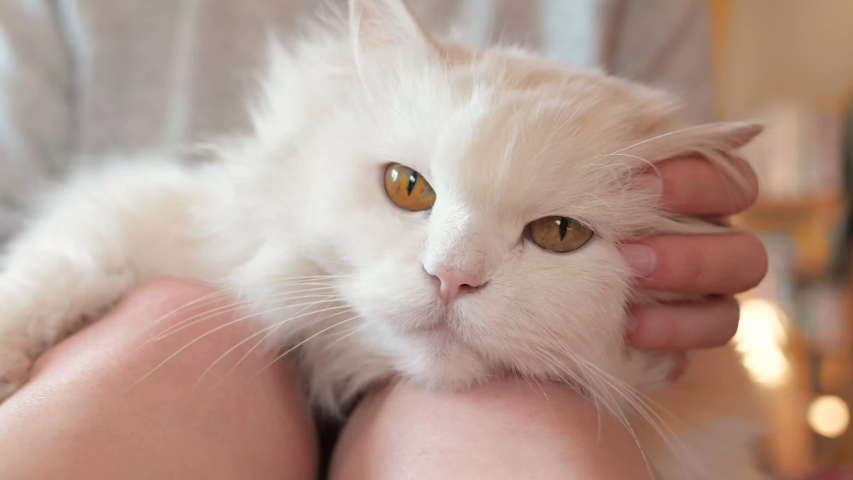 Beautiful, white, long-haired Persian cat, Ragdoll cat lies comfortably on the lap and legs of a young woman and is petted and curled   Shutterstock HD Video #1049244187