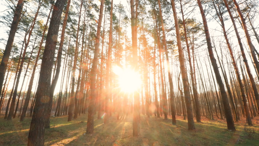 Beautiful Sunrise Sun Sunshine In Sunny Spring Coniferous Forest. Sunlight Sunbeams Through Woods In Forest Landscape | Shutterstock HD Video #1049583127