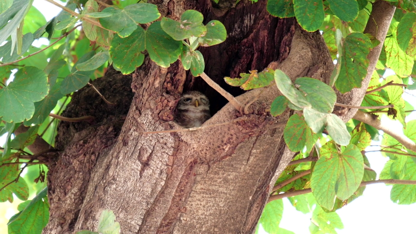 Spotted owlet in a tree hollow at agra, india | Shutterstock HD Video #1049633677