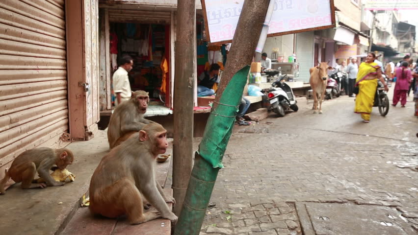 VRINDAVAN, INDIA - JULY 14, 2015: Monkey on a city street to steal items from street vendors in the heart of Vrindavan, India.
