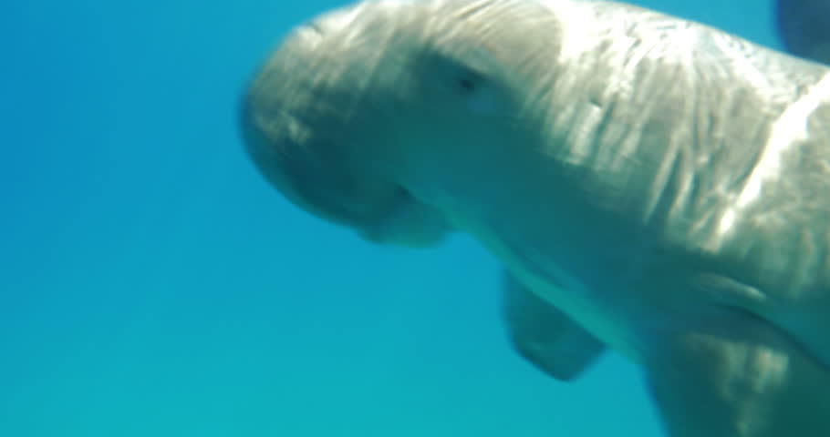 Sea-cow or dugong coming up from the water and then swimming to the ground. Sea world and its animals