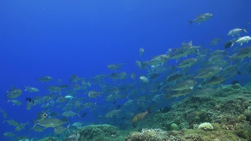 School of Jacks on a coral reef, Bigeye Trevallies | Shutterstock HD Video #10616147