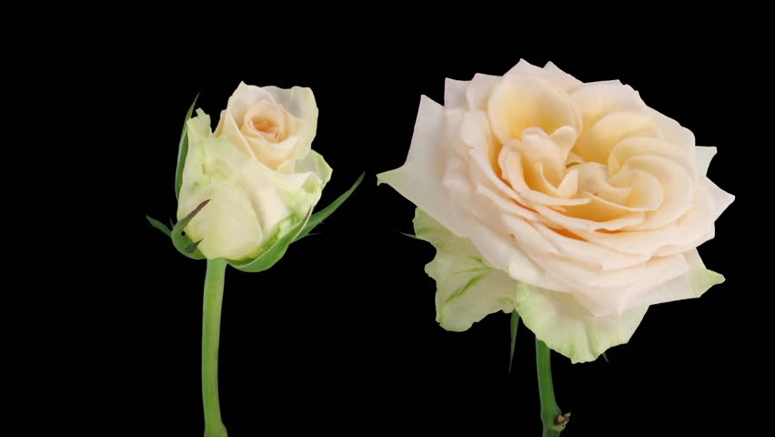 "Time-lapse of opening and dying ""Renate"" rose 3d"