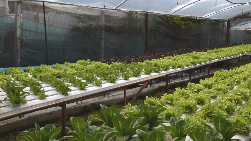 commercial hydroponic vegetable production Maximizing hydroponic crop production  goff says growers who are considering hydroponic vegetable production need to consider which crops they are going to.