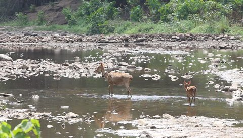 Sambar Deer Feeding Standing in the Water, Sambar Huai Kha Khaeng, the attenuated Thani, Thailand, the wild west, awarded by UNESCO, Huai Kha Khaeng Wildlife Sanctuary.