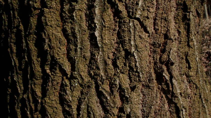 Tree Bark Texture Stock Footage Video 1590445 Shutterstock
