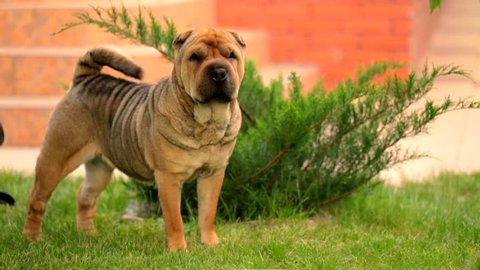 This is a footage of a graceful brown shar pei standing on the green lawn near bush at brick building and wagging tail while looking at the distance and walking away in a while out of the frame