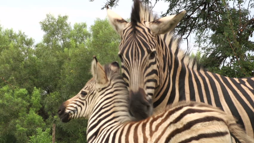 Zebra foal with mother, South Africa