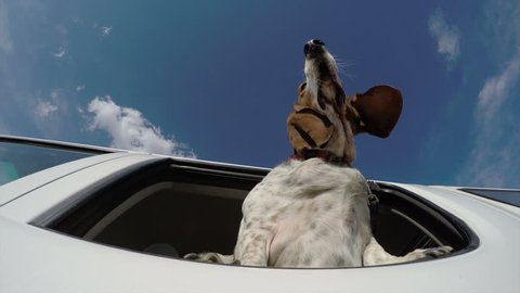 Funny animal. 4K underneath view of basset hound with head out of car window