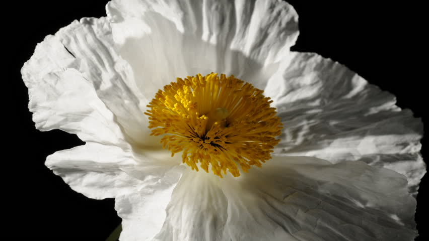 Romnea coulteri poppy like flower dying and withering time lapse part 2 of 2. The delicate, paper-like, white petals wither and die #10852091