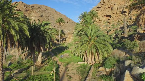 AERIAL: Beautiful green oasis with palm trees in rocky canyon