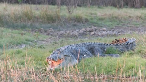 tracking shot of a huge saltwater crocodile at corroboree billabong near kakadu