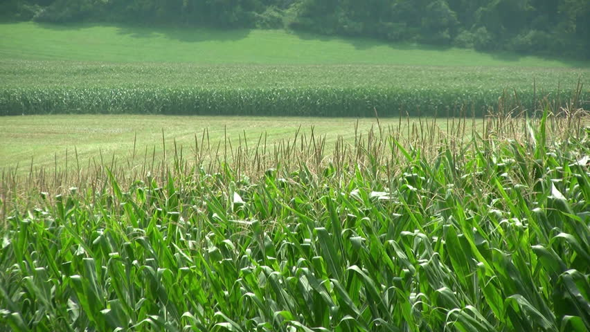Corn. Agriculture. | Shutterstock HD Video #1101262