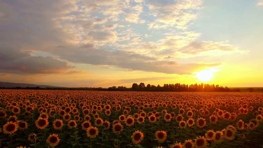 Beautiful Sunset Over Sunflower Field Fly Over Pan Aerial Close Up Drone Shot Nature Beauty Farming Concept