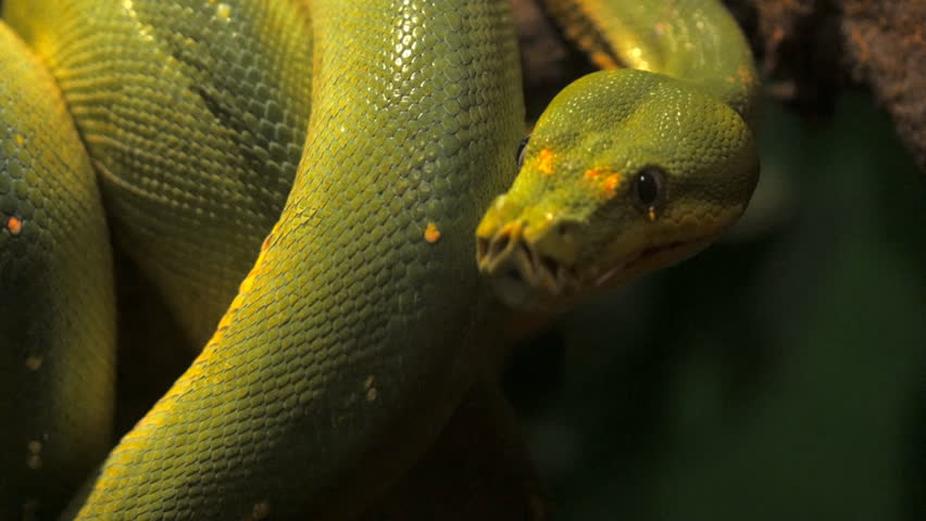 close up of the head of a green tree python