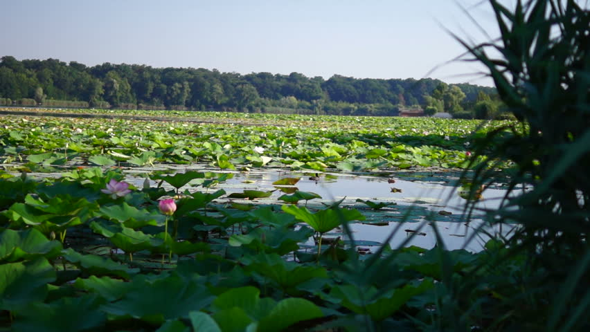 Lotus Flower With Coot Sinking Stock Footage Video 100 Royalty
