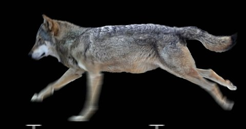 Wolf runs. Animation isolated and cyclical. You can use in real coloring, and as a silhouette.