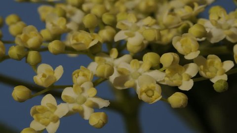 Elderflower time lapse in macro. The small individual flowers open revealing stigmas their pollen. Elderflowers are visited by bees for making honey and we can make delicious elderflower cordial.