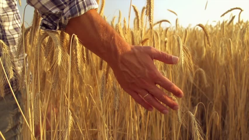 Man hand running through wheat field. Male hand touching wheat ears closeup. Farmer. Harvest concept. Harvest concept. Slow motion video footage 240 fps. Full HD 1080p  | Shutterstock HD Video #11079164