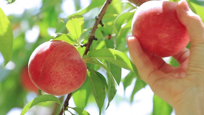 Picking peach fruit.  | Shutterstock HD Video #11080157