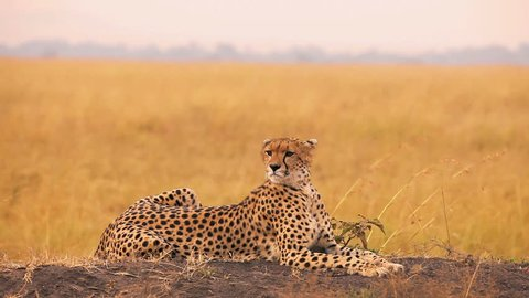 Male cheetah sitting in grass and looking for its pray in Masai Mara, Kenya
