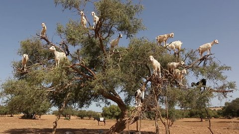 Goats climb the Argan tree and eat Argan nut, Morocco