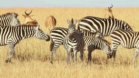 Male Impalas and Zebras eating grass, Masai Mara, Kenya