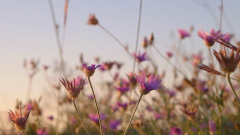 Wild flowers of pink color closeup. Desert area landscape