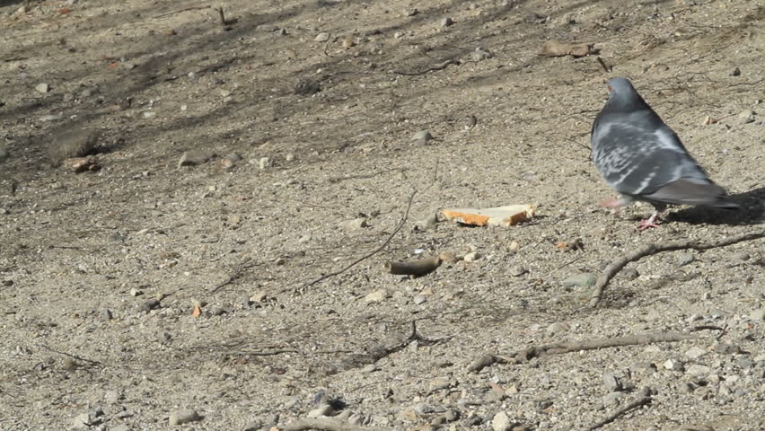 Pigeon eating a slice of white bread with crust, then strutting off screen. Dirt and stone background.