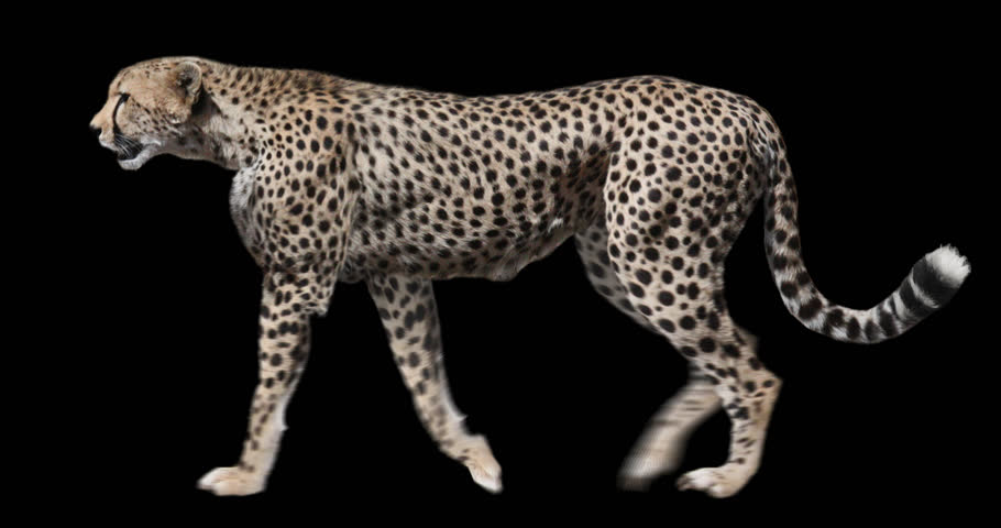 Isolated Cheetah cyclical walking. Can be used as a silhouette.