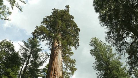 Giant Sequoia Tree in Sequoia National Park, California, Tilt down and Hold