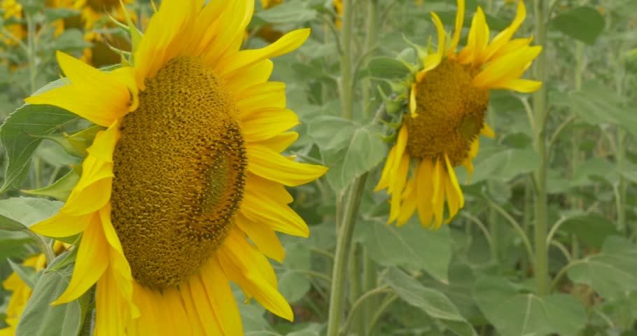 View from the left side, Field of Sunflowers, Sunflower Is Blooming, Sunflowers Closeup, Green Leaves, Stalks, Big yellow Flowers, flowers are swaying at ...