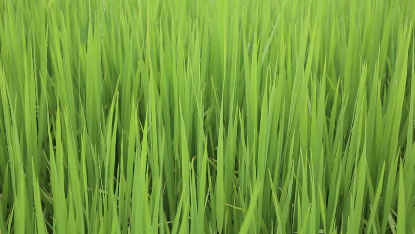 Green field with rice stalks swaying in the wind, hd video | Shutterstock HD Video #11236667