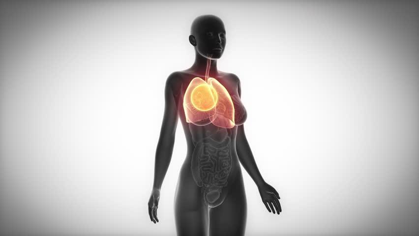 LUNGS female organ anatomy scan in loop