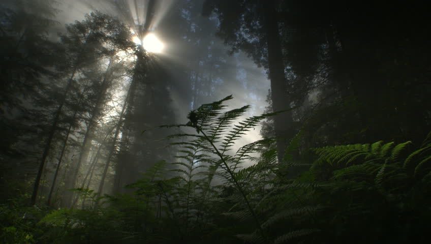 Light rays and fog in Redwood forest, Redwood NP, CA | Shutterstock HD Video #11279687