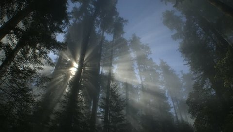 Light rays and fog in Redwood forest, Redwood NP, CA