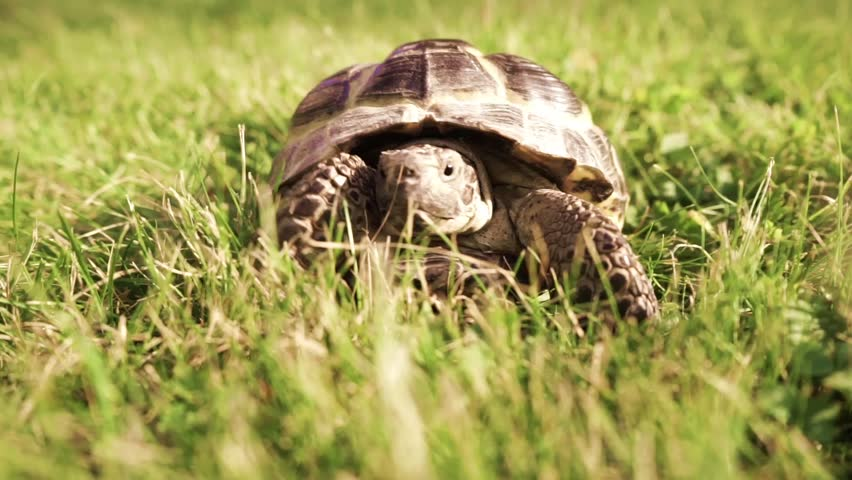 Turtle moving on the grass #11293727