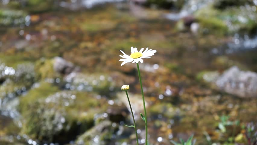 A single open marguerite (or camomile flower) on a sunny day on the background of a small brook moving slightly in the wind. Shallow depth of field.