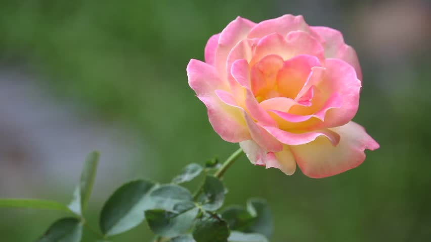 Yellow Mix Pink Rose Flower