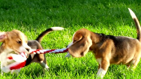 Show dog playing with toy of breed of beagle on a natural green background. Slow motion