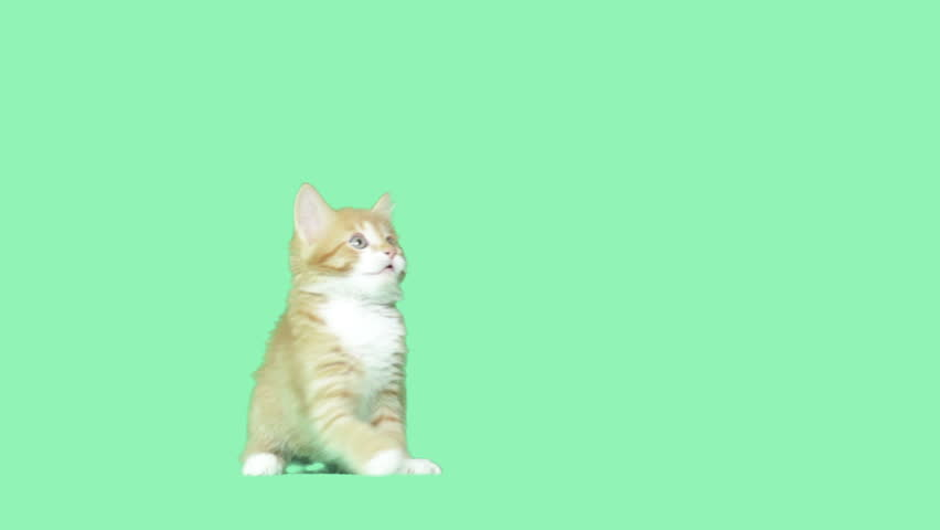 kitty waving paws on a green screen #11325344