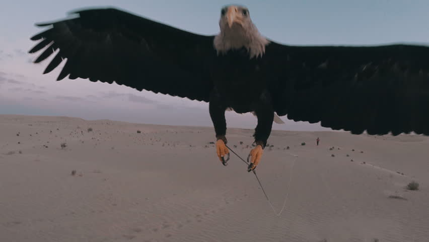 Eagle flying toward camera in the desert