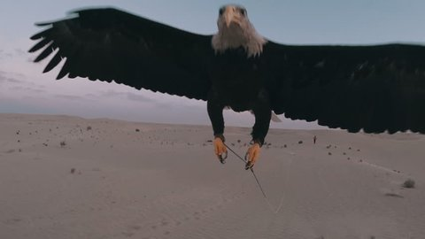 Eagle flying toward camera in the desert