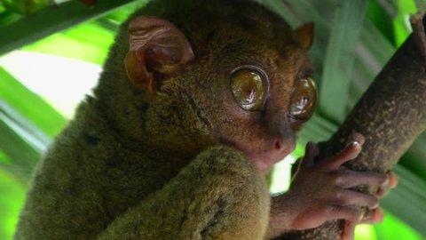Philippine tarsier on the tree close-up on the Bohol island, Philippines