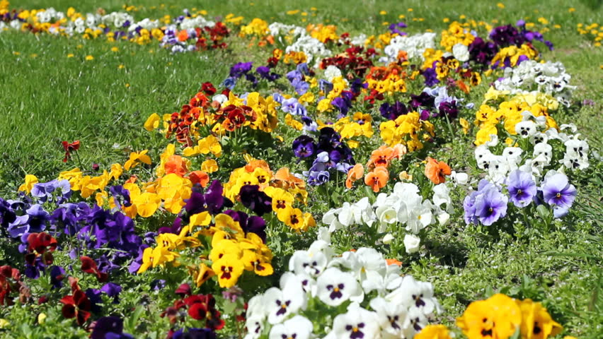Colorful flowers swaying in the gentle breeze. HD 1080p. Canon EOS 550D.