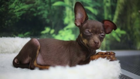 Small brown funny dog chihuahua lies on fur in pet shop
