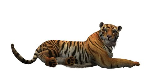 Tiger lying down to rest,wildlife animals habitat.stripes pattern. cg_02074