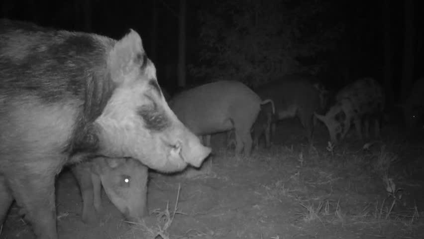 Wild Boar (sus Scrofa) or Stock Footage Video (100% Royalty-free) 11486657    Shutterstock