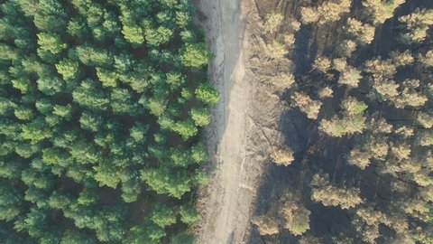 Aerial view of burnt pine tree forest against safe forest thanks to firebreak, aerial view in 4K