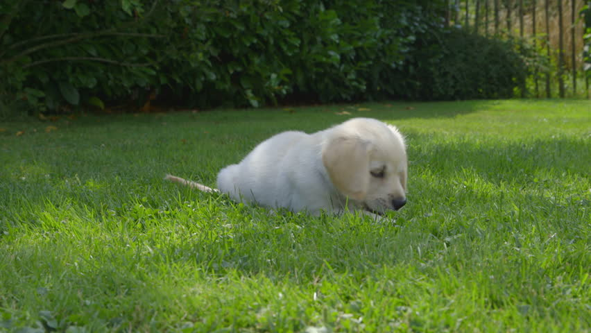 Cute Golden Retriever Puppy Is Eating In The Garden And Then Jumping Away